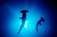 scalloped hammerhead sharks, Sphyrna lewini, Galapagos, Ecuador, Pacific Ocean