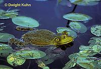 FR05-003z  Bullfrog - adult in pond - Lithobates catesbeiana, formerly Rana catesbeiana