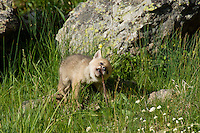 Wild Coyotes (Canis latrans) pup playing/exploring near its den.  Western U.S., June.