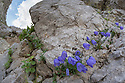 Fairy's Thimble {Campanula cochleariifolia} growing on limestone cliff face. Triglav National Park, Julian Alps, 2000m, Slovenia. July.
