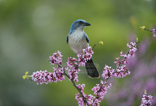 Western Scrub-Jay (Aphelocoma californica), adult perched in Eastern Redbud (Cercis canadensis), Hill Country, Central Texas, USA