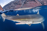 great white shark, Carcharodon carcharias, male with large claspers, Guadalupe Island, Mexico, Pacific Ocean