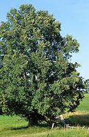 Winter-Linde, Winterlinde, Linde, Tilia cordata, Little Leaf Linden