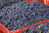 gamay in plastic crates georges duboeuf beaujolais burgundy france