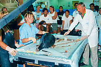 a team of professors dissects the head of a bottlenose dolphin, Tursiops truncatus, during a training session for graduate students, Hawaii Institute of Marine Biology, Oahu, Hawaii (N.Pacific Ocean)