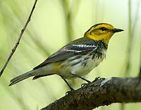 Adult female black-throated green warbler