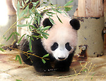 December 18, 2017, Tokyo, Japan - Female giant panda cub Xiang Xiang walks on the ground at a press preview at the Ueno Zoological Gardens in Tokyo on Monday, December 18, 2017. The zoo will put Xiang Xiang, born in June from her mother Shin Shin, on display for public from December 19.    (Photo by Yoshio Tsunoda/AFLO) LWX -ytd-