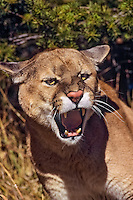 Mountain Lion or cougar (Puma concolor) snarling, Western U.S., fall.