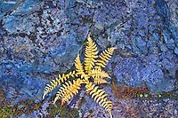 Fern in fall color growing in rock wall. Mt. Baker Wilderness. Washington