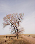 A cotton wood tree marks the location of a water source on the vast expanse of the Pawnee National Grasslands of northeastern Colorado. In the treeless land of the western prairie, these magnificent giants are welcome habitat for a variety of bird and animal life.
