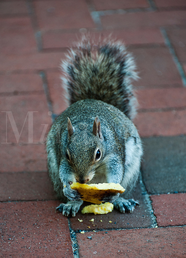 Squirrel eating discarded human food.