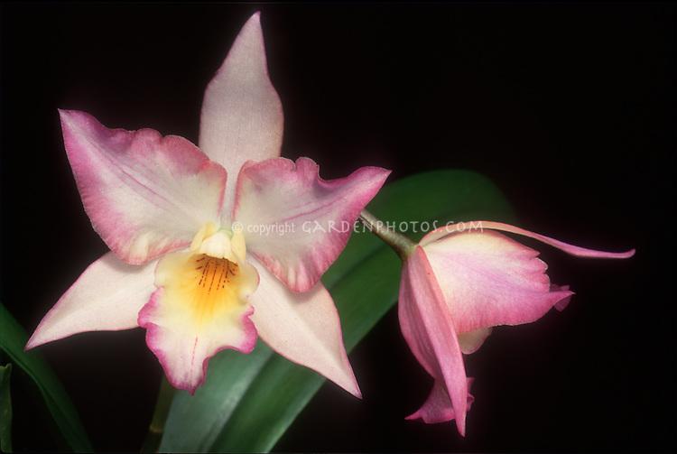 Iwanagara Appleblossom aka Leonara Appleblossom Orchid