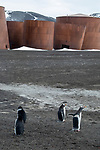 Chinstrap & Gentto Penguins, Decpetion Island