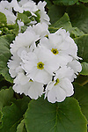 PRIMULA OBCONICA 'LIBRE WHITE', PRIMROSE