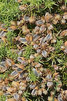 Europäischer Stechginster, Gewöhnlicher Stechginster, Frucht, Früchte, Hülsenfrüchte, Ulex europaeus, common gorse, furze, whin