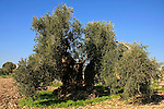T-074 Olive tree in Shfaram