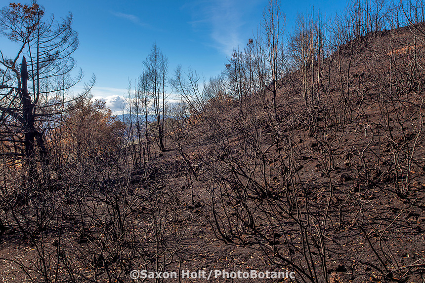 California burned shrub native landscape, recovery after 2017 Santa Rosa, Sonoma Tubbs fires, Pepperwood Preserve