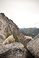 Mountain Goat (Oreamnos americanus) with kid leaping across a gap between two boulders The Enchantments, Alpine Lakes Wilderness, WA.