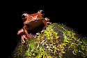 Madagascar tree / Leaf litter frog {Boophis madagascariensis} at night in tropical rainforest. Masoala Peninsula National Park, north east Madagascar.