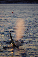 Adukt male killer whale ( Orcinus orca ) surfacing and spouting at sunset. Tysfjord, arctic Norway