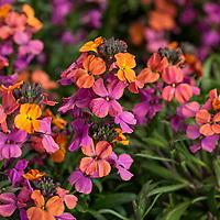 Wallflowers - Erysistible Bronze Rose Erysimum linifolium; Syngenta Flowers
