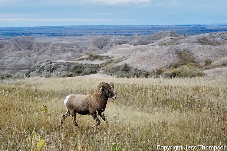 Bighorn Ram, Badlands National Park, South Dakota