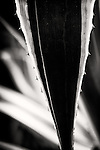 Black and white abstract of verigated agave plant.  Predominately black