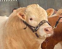 Blonde d'Aquitaine bull's head.