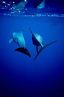 pygmy killer whales, Feresa attenuata, Pacific Ocean