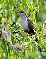 Yellow-billed cuckoo has found a web full of worms