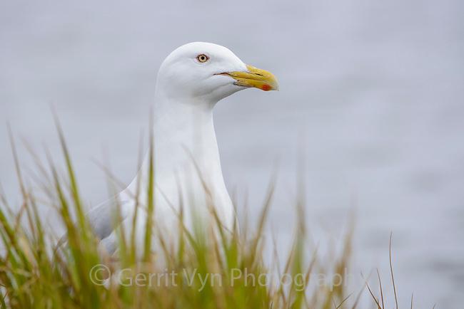 Glaucous Gull (Larus hyperboreus). Yukon Delta National Wildlife Refuge, Alaska. June.