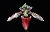 Paphiopedilum superbum orchid species