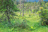 Step muskeg amid temperate rainforest near Point Adolphus on Chichagof Island in the Tongass National Forest west of Juneau, Alaska, AGPix_0687.