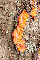 Wrinkled Crust (Phlebia radiata), a crust fungus, grows on the side of tree in autumn.