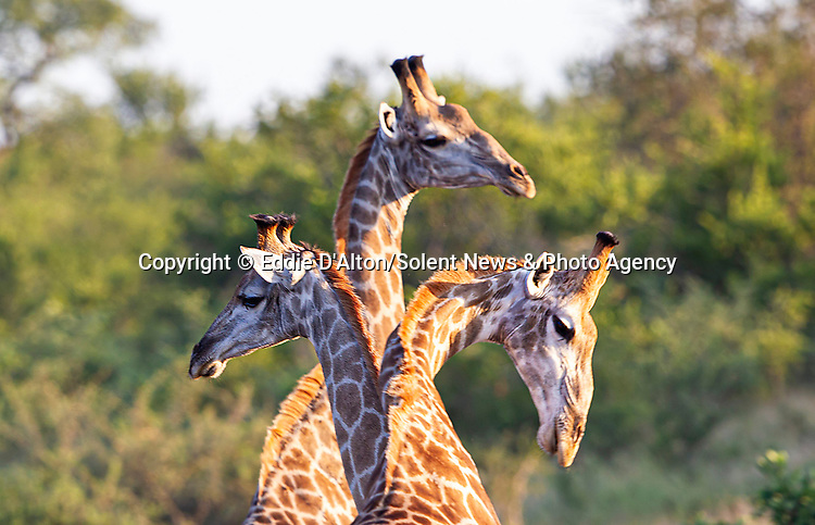"""MAIN IMAGE:  THREE HEADED GIRAFFE...... Three giraffes converge together to create an intruiging optical illusion.<br /> <br /> Looking like a triple-headed marvel of nature, the photo of the long-necked mammals was captured in the Kruger National Park, by Eddie D'Alton from Pretoria, South Africa.<br /> <br /> Eddie said, """"It was quite a lucky picture, the moment was over quite rapidly.  As soon as I saw them I realised it would make for a nice picture.""""<br /> <br /> Please byline: Eddie D'Alton/Solent News<br /> <br /> © Eddie D'Alton/Solent News & Photo Agency<br /> UK +44 (0) 2380 458800"""