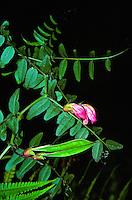 Endangered Hawaiian vetch (vicia menziesii) flower located on the Big island