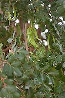 Johannisbrotbaum, Johannis-Brotbaum, Johannis - Brotbaum, Früchte am Baum, Karoben, Ceratonia siliqua, Carob, St John´s Bread, Caroubier