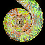 Curled tail of male Panther Chameleon (Furcifer pardalis). From Masoala National Park, north east Madagascar.