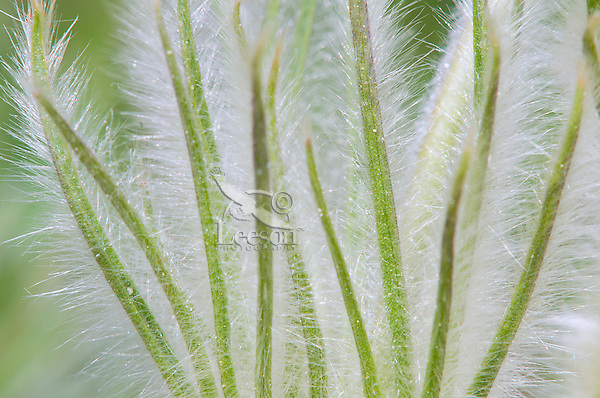 Pasque Flower  (Anemone patens) leaves.
