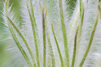 Pasque Flower  (Anemone patens) leaves.
