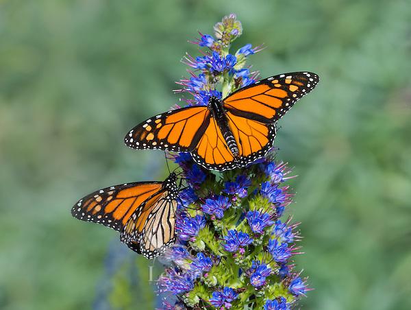 Two Monarch butterfly (Danaus plexippus) along Big Sur coastal area, CA.  Fall.