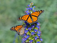 Two Monarch butterfly (Danaus plexippus) along Big Sur coastal area, CA.  Fall.