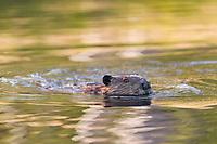 Beaver swims in a pond along the Chena Hot Springs road, Interior, Alaska.