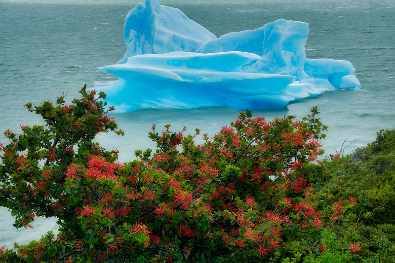 Iceberg and Chilean Fire bush in Lago Grey.torres Del Paine, Chile, Argentina  Argentina