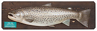 BNPS.co.uk (01202 558833)<br /> Pic: Bonhams/BNPS<br /> <br /> Pictured: A wood carving of the record fish that sold at Bonhams<br /> <br /> A fishy record - Angling officials have launched a cold case investigation into claims that a long-standing British record might be a bit fishy. <br /> <br /> The British Record Fish Committee is reacting to a tip-off from an angler who has raised concerns that the record for the biggest sea trout caught in 1992 might not be as it seems.<br /> <br /> The anonymous complainant had recently studied a photograph they had come across of the 28lbs 5oz specimen after it had been stuffed. <br /> <br /> And they suspect the fish might have been a hybrid breed - a cross between a salmon and a sea trout.