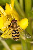 Garten-Schwebfliege, Gartenschwebfliege, Gemeine Schwebfliege, Männchen beim Blütenbesuch, Syrphus spec., hover fly