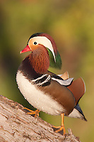 Mandarin Duck (Aix galericulata) - Male standing in an oak tree