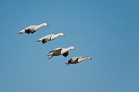 Snow Geese, Bosque del Apache NWR, New Mexico