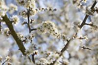 Schlehe, Gewöhnliche Schlehe, Schwarzdorn, Blüte, Blüten, Schlehenblüte, Schlehen, Prunus spinosa, Blackthorn, Sloe, Epine noire, Prunellier