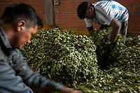 """Supporters of former Bolivian President Evo Morales, known as coca growers """"cocaleros"""", work drying out coca leaves in the local coca market, in Entre Rios, Chapare province, Bolivia. November 27, 2019.<br /> Les partisans de l'ancien président bolivien Evo Morales, connus sous le nom de cultivateurs de coca """"cocaleros"""", travaillent sur le marché local de la coca, à Entre Rios, dans la province du Chapare, en Bolivie. 27 novembre 2019."""